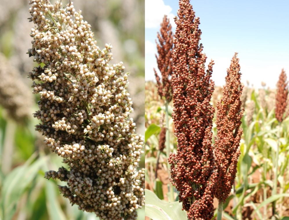 Sorghum (left) Millet (right)